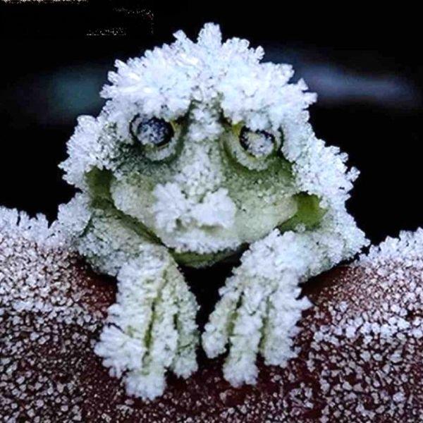 قورباغه ای که در زمستان منجمد می شود+عکس