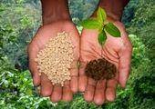 پیش بینی تولید ۲۵۰ هزار تن گندم در استان مرکزی
