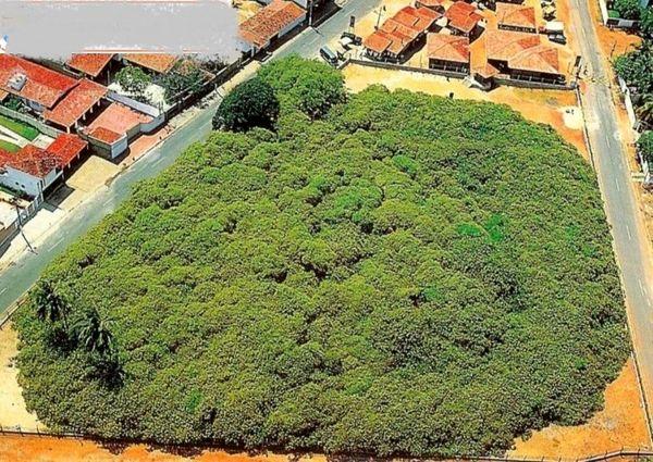 بزرگترین درخت بادام جهان+عکس