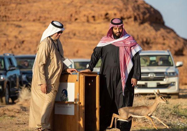 رهاسازی آهو برای تامین غذای یوز عربی توسط بن سلمان+ عکس
