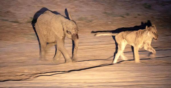 شکار شیر توسط یک بچه فیل!+ عکس