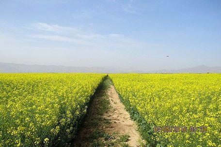 عملیات برداشت کلزا از مزارع استان مرکزی آغاز شد