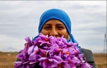 لبخند زعفرانی کشاورزان در فصل برداشت