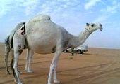 گاوها مخفیگاه سارق فراری را لو دادند! + عکس