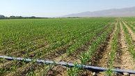 ۶۵ هزار و ۵۰۰ هکتار از اراضی کشاورزی استان مرکزی زیر کشت بهاره رفت