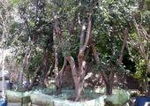 جان بخشی هنر به درختان بی جان در منطقه2