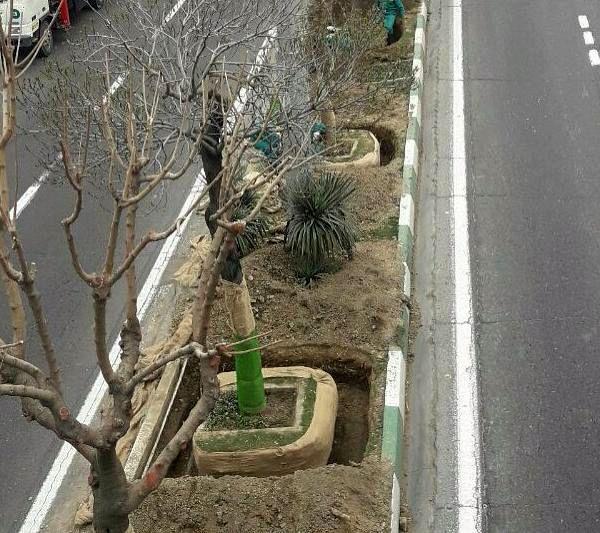کاشت درخت روت بال  در بزرگراه شهید یاسینی