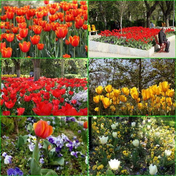 شکوفایی۵۰ هزار گل در سطح منطقه شش به مناسبت فصل بهار
