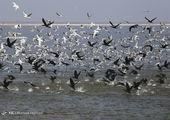 تماشای «پرندگان ماهی خوار» از شبکه سحر